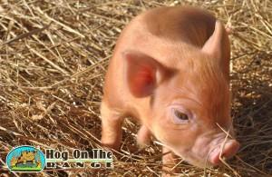 Jenny Tuahuru female pig